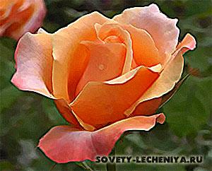 lechebnye-svojstva-rozy