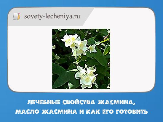 lechebnye-svojstva-zhasmina-maslo-zhasmina-i-kak-ego-gotovit