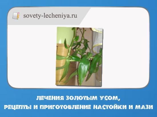 lecheniya-zolotym-usom-recepty-i-prigotovlenie-nastojki-i-mazi
