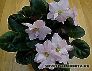cvetok-fialka