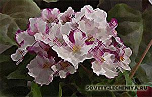 fialka-lechebnye-svojstva