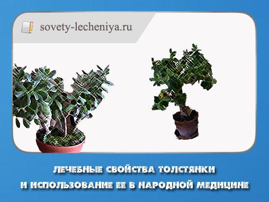lechebnye-svojstva-tolstyanki-i-ispolzovanie-ee-v-narodnoj-medicine