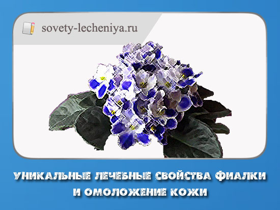 unikalnye-lechebnye-svojstva-fialki-i-omolozhenie-kozhi