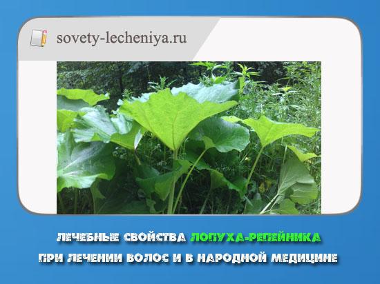 lechebnye-svojstva-lopuxa-repejnika-pri-lechenii-volos-i-v-narodnoj-medicine