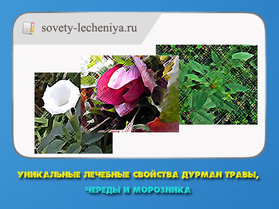 unikalnye-lechebnye-svojstva-durman-travy-cheredy-i-moroznika