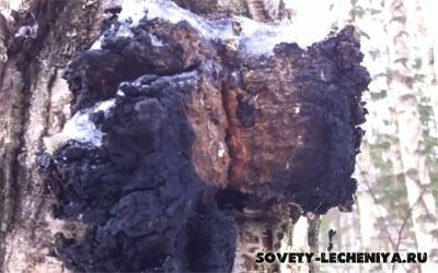 berezovaya-chaga