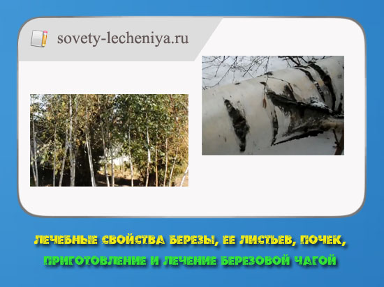 lechebnye-svojstva-berezy-ee-listev-pochek-prigotovlenie-i-lechenie-berezovoj-chagoj