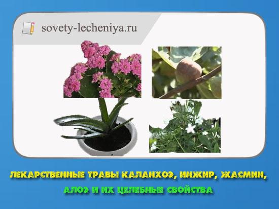 lekarstvennye-travy-kalanxoe-inzhir-zhasmin-aloe-i-ix-celebnye-svojstva