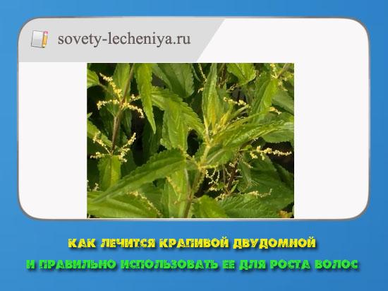 kak-lechitsya-krapivoj-dvudomnoj-i-pravilno-ispolzovat-ee-dlya-rosta-volos
