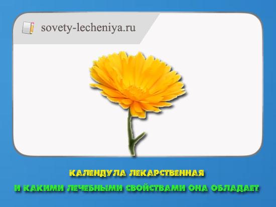 kalendula-lekarstvennaya-i-kakimi-lechebnye-svojstvami-ona-obladaet