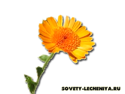 lechebnye-svojstva-kalenduly