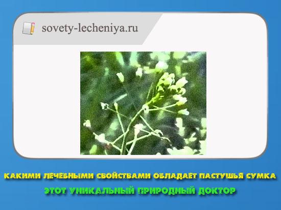 kakimi-lechebnymi-svojstvami-obladaet-pastyshya-sumka-etot-unikalnyj-prirodnyj-doktor