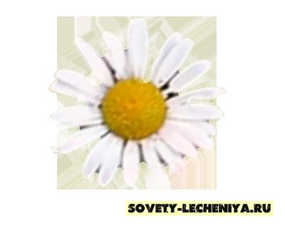lechebnye-svojstva-romashki