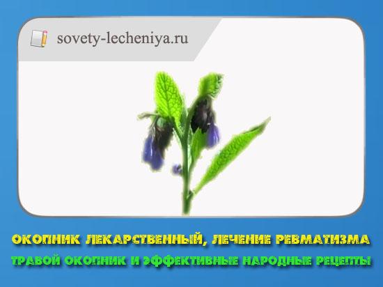 okopnik-lekarstvennyj-lechenie-revmatizma-travoj-okopnik-i-effektivnye-narodnye-recepty