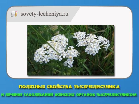 poleznye-svojstva-tysyachelistnika-i-lechenie-zabolevanij-zhenskix-organov-tysyachelisttnikom
