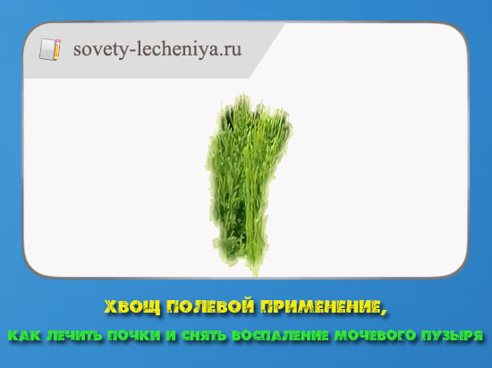 xvosh-polevoj-primenenie-kak-lechit-pochki-i-snyat-vospalenie-mochevogo-puzyrya