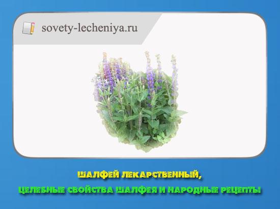 shalfej-lekarstvennyj-celebnye-svojstva-shalfeya-i-narodnye-recepty