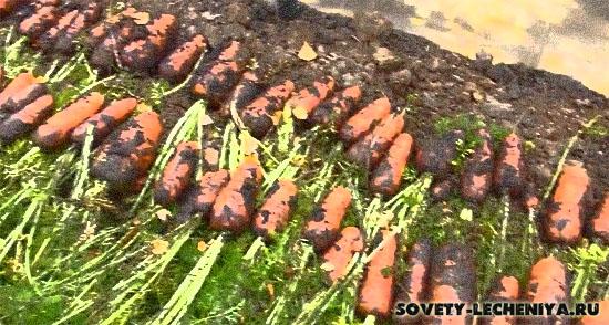 syraya-morkov