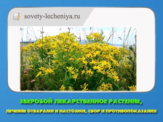 Зверобой лекарственное растение, лечение отварами и настоями, сбор и противопоказания